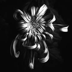 Chrysanthemum 'Jefferson Park' (annabelleny Thank you for your many views and comm) Tags: flower floral blossom petals leaves chrysanthemum jeffersonpark annjacobson bud opening floralbud blackandwhite