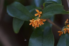 Osmanthus fragrans var. aurantiacus (Jim Mayes) Tags: canon eos digital 90mm macro tamron tamronspaf90mmf28dimacro