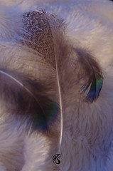 Plumes Paon et Poule (mailyse.bellanger) Tags: plumes paon douceur coocooning noir blanc marbr feather black white blue green bleu vert peacock