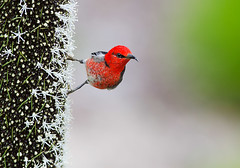 Scarlet Honeyeater on Grass Tree 2 (caralan393) Tags: birds honeyeater scarlet red