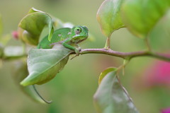 (Leela Channer) Tags: small tiny baby young neonate juvenile green male chameleon reptile flapnecked pink leaves branch cute chamaeleodilepis close up kenya africa mombasa coast nature animal