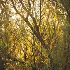 Order Amongst Chaos (ChrisDale) Tags: autumn chrisdale chrismdale early golden goldenhour goldenlight gunthorpe haze light morning nottingham nottinghamshire notts october river rivertrent sun sunlight trees trent woodland