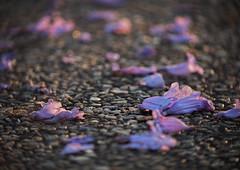 Jacaranda carpet_c (gnarlydog) Tags: cinelens kodakcineektanon102mmf27 manualfocus vintagelens bokeh swirly sunset australia jacarandatree flowers purple backlit detail closeup sidewalk pebbles texture