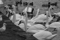Pecking order. (Barry Miller _ Bazz) Tags: swans swan birds wildfowl canon 5d mark3 300mm f4 l west bank widnes halton cheshire england mono outdoor photog