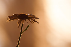 macro (cosovan.vadim) Tags: camomile flower water drops macro backlight dof bokeh shadow