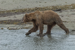 Out for a Catch (endrunner) Tags: nature animal bear wildlife