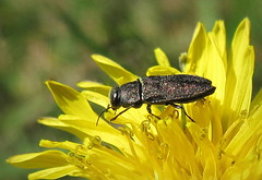 Антаксія (Anthaxia sp.) (Gansucha) Tags: buprestidae coleoptera anthaxia
