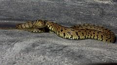 2016-11-30_11-35-03 (Rui.S) Tags: cobradeescada laddersnake cobra snake reptil rhinechisscalaris elaphescalaris