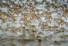 Sandpiper flock (rdpe50) Tags: animal wildlife flock birds migratory sandpipers flight ocean crescentbeach blackiespit surrey bc