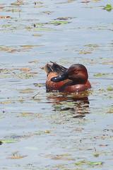 Cinnamon Teal (Delta Naturalists Casual Birding) Tags: 201519 dncb colony dncblocation dncboutingid