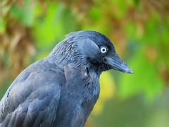 Jackdaw in Richmond Park (H. Smithers) Tags: cheeky jackdaw richmond park bird beady eye