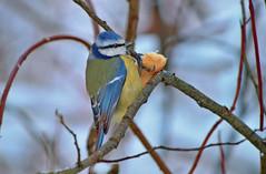 WOW! Birds are still alive here in winter :-)) Eurasian blue tit / Sinitiainen. (L.Lahtinen) Tags: bird eurasianbluetit sinitiainen tiainen tit nikond3200 55300mm finland birdlife wildlife wild winter suomi songbird fauna larissadatsha lintu laululintu nature luonto cold