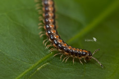 _DSC3143_LOGO (Ray 'Wolverine' Li) Tags: millipedes millipede myriapoda asia nature hongkong diplopoda wild