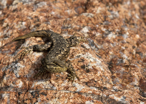 Fence Lizard looks at me