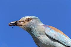 European Roller (Coracias garrulous) Kruger Park, South Africa 2014 (Ricardo Bitran) Tags: coraciasgarrulous europeanroller southafrica krugerpark birdsofafrica birdsofsouthafrica birdsofkruger