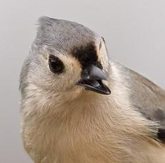 Chirp (jimbobphoto) Tags: bird birdfeeder feather tongue closeup