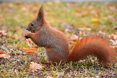 red squirrel (JoannaRB2009) Tags: parkimksiciajzefaponiatowskiegowodzi park squirrel autumn fall nature wet rain closeup d lodz polska poland animal