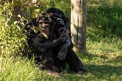 Off Camera Gaze (brev99) Tags: d7100 tulsazoo highqualityanimals chimpanzees primates topazdetail