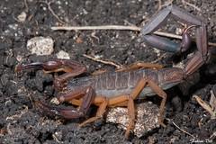 IMG_1209 Veracruz - Centruroides gracilis (fabianvol) Tags: macro mexique mexico prairie grassland pastizal animal arachnida arachnid arachnide arácnido scorpiones scorpion escorpión alacrán mâle male macho