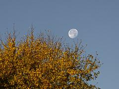 PB161314 (Paul Henegan) Tags: moon autumn earlymorninglight foliage goldenhour tree waninggibbous