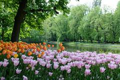 Tulipany (saltalungo) Tags: warszawa varsavia spring vistola wisa azienki tulips wiosna tulipani d7100