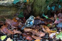 Brambling (Peter J. Ham.) Tags: birds nature life brambling aves avies colour winter gateshead newcastle crisp birding oiseaux tick spot canon frost