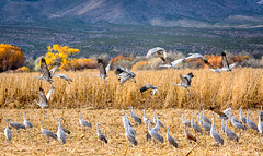 Sandhill Cranes (Rich (Sparky_R)) Tags: sandhillcranes cranes bosquedelapache socorro newmexico landofenchantment nikon nikkor 70200mmf28gedvrii tc17eii teleconverter