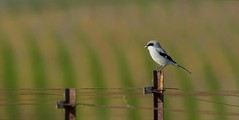 Divine Find (opheliosnaps) Tags: wild nature shrike endangered vineyard bokeh green grey perch stake rare