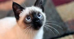 Pinned gatos por Universo de Gatos Blog (universodegatos) Tags: cats cat catlovers universodegatos gatos gato gatinhos felinos