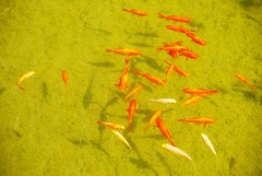 // poissons rouges, mais pas tous (Riex) Tags: fish animal pond goldfish fishes a100 poissons amount etang aquaticlife rouges sal1680z minoltaamount carlzeisssonyf35451680