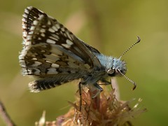 Checkered-Skipper (Pyrgus) butterfly in the Oregon woods (Treebeard) Tags: oregon butterfly asteraceae douglascounty northumpquariver centaureamaculosa spottedknapweed pyrguscommunis commoncheckeredskipper pyrgus checkeredskipper pyrgusruralis twobandedcheckeredskipper