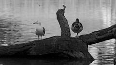 (AAcerbo) Tags: sanfrancisco california goldengatepark park blackandwhite bw usa lake tree water monochrome birds canon duck log widescreen seagull gull cropped stowlake onelegged