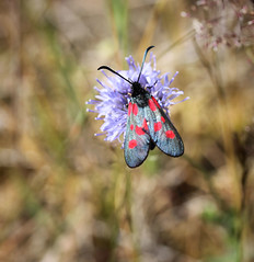 Zygaena viciae or lonicerae, Germany