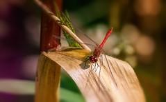 Dragonfly (Delbrücker) Tags: macro dragonfly makro libelle nikkor105mm nikond610