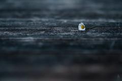 Lost daisy (der LichtKlicker) Tags: plant flower classic table wooden focus dof bokeh f14 pflanze 85mm plate chrome daisy fujifilm blume platte tisch holz walimex blmchen gnseblmchen lightroom buttery holztisch sharpness samyang schrfe lichtklicker