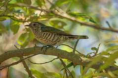 Cuckoo (gecko47) Tags: bird brisbane cuckoo parasitic chrysococcyxlucidus oxleycreekcommon bronzecuckoo macphun shininggoldenbronzecuckoo