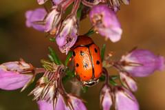 Cryptocephalus cynarae (Suffrian, 1847) (Luís Gaifém) Tags: macro bug insect beetle insecto coleoptera chrysomelidae escaravelho besouro marachão luísgaifém cryptocephaluscynarae