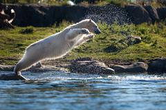 BLIJDORP20151001_©arievantilborg-9567 (Arie van Tilborg) Tags: blijdorp polarbear ijsbeer rotterdamzoo ijsberen arievantilborg