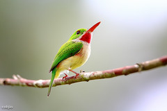 C57A2692 - Barrancoli -Todus subulatus - Broad-billed Tody (Carlos A. Objio Sarraff) Tags: 도미니카공화국 多明尼加共和國 ドミニカ共和国 dominicana todidae todus narrowbilled tody details colours colour colors color clouds cloud republicadominicana photography perspective nature naturaleza magic luminosity image red environment sky photo caribe caribbean broken brilliant blanco aves yellow tropical rojo mountain mount multicolore green wildlife todussubulatus barrancoli contrast santodomingo detalles stamp specanimal barrancolibroadbilledtodytodussubulatus broadbilledtody canoneos5dmarkiii arroyomaracacountryclub bestofblinkwinners доминиканскаяреспублика canon7d canonef500mmf4lisusm carlosaobjiosarraff dominikanischerepublik dominikanskarepubliken dominicanrepublic jarabacoa lahispaniola quisqueya repiblikdominikèn républiquedominicaine hispaniolabirds todieràbeclarge adfona dominicanendemicbirds
