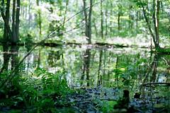 (toulouse goose) Tags: trees film forest 35mm canon eos pond kodak swamp bog elan7 portra400 ef50mm18 lotsofmosquitobites frogsarehiding