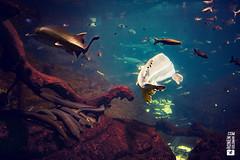 Under the Sea (ronenyard) Tags: ocean travel blue sea fish water beautiful shark marine underwater under scuba diving reef undersea tadpole freedive 500px ifttt