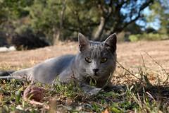 i musciii (robgarbage) Tags: cats cat countryside kitten pussy kittens campagna felino felini puss gatto gatti chartreux musci certosino