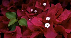 Aspects in Colour (Padmacara) Tags: flower nature g11