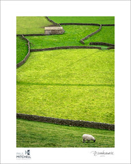 Barn & sheep (tobchasinglight) Tags: barn sheep juxtaposition drystonewalls northyorkshire dales yorkshiredales stonebarn swaledale greenfields gunnerside