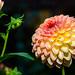 in voller Blüte.. #2