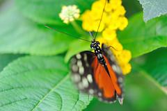Heliconius sp JVA_0188 (mrjean.eu) Tags: sara sp atlas demi insectes attacus papillons heliconiinae deuil heliconius phaetusa dryatula