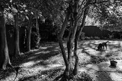 the back yard (fallsroad) Tags: trees blackandwhite bw dog house yard lab labrador chocolate servicedog labradorretriever hunter tulsaoklahoma assistancedog nikonsigma seizureresponsedog nikond7000