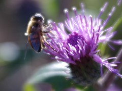 Cirsium and Bee (test shot of Velvet56) (kawabek) Tags: lensbaby bee cirsium testshot      velvet56 56