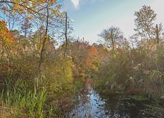gsb oct15_DSC_0648 (gmontjr) Tags: autumn trees fall water newjersey nikon nj fallfoliage pines wetlands jersey pinelands pinetrees atlanticcounty southjersey pinebarrens pineforest southernnewjersey d600 nikond600 nikkor2485mmf3545 greatswampbranch