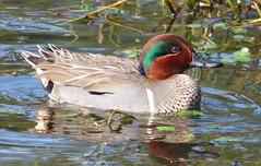 Green-winged Teal (linda long) Tags: nature birds wildlife ducks pacificnorthwest drake waterfowl avian waterbirds teals greenwingedteal dabblingduck oregonbirds